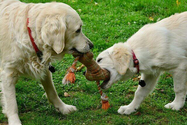 come far giocare il cane in casa