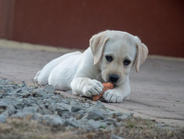 quanti pasti deve mangiare un cane